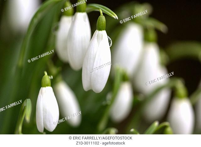Spring Snowdrops Montrose Scotland UK