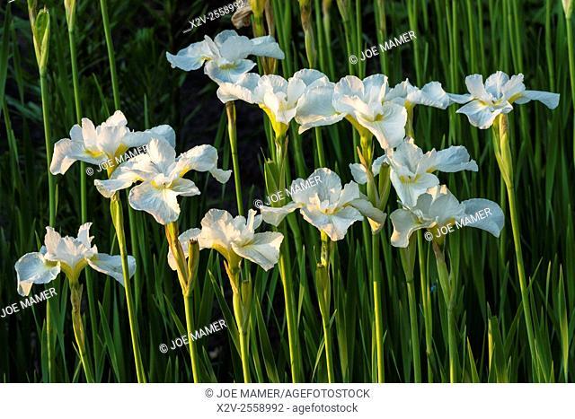White iris flowers in a garden