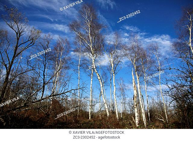 Birch Trees in the nature, Isere, Rhone Alpes, Alps, Dauphine, France