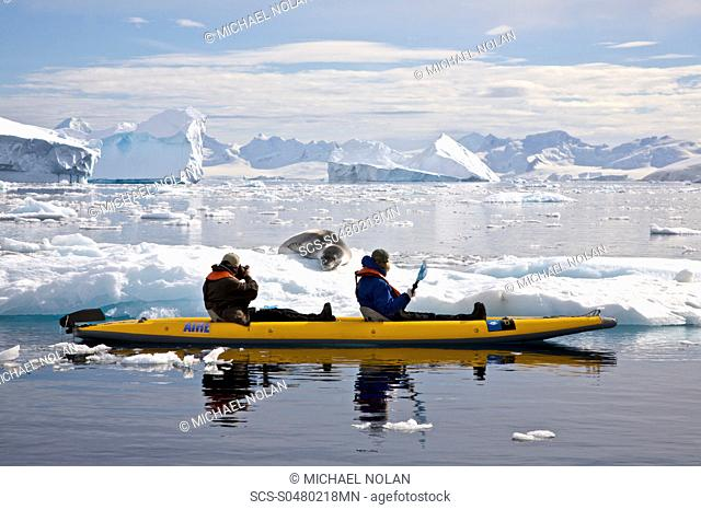 kayaking with a leopard seal near Danco Island, Antarctica The Leopard seal Hydrurga leptonyx is the second largest species of seal in the Antarctic after the...