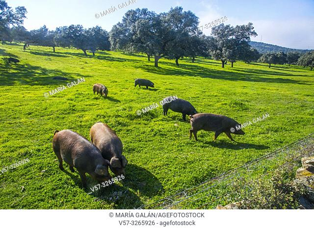 Iberian pigs in a medaow. Los Pedroches valley, Cordoba province, Andalucia, Spain