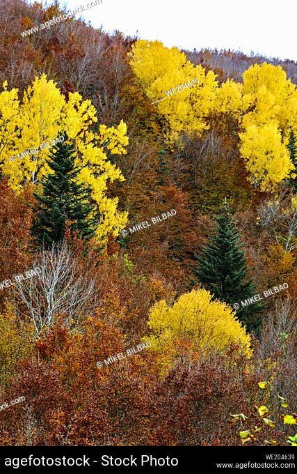 Decidual forest in autumn. Close to Irati area. Navarre, Spain, Europe