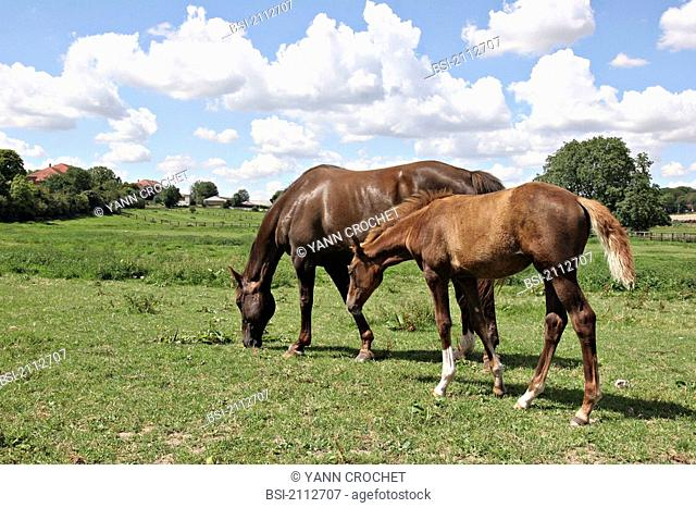 French saddle horse : mare and her foal Picardy, Oise, France. Bread : French saddlebred. Horse Equus caballus  Equine  Mammal