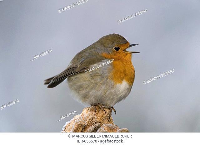 European Robin (Erithacus rubecula) in wintertime, its beak opened