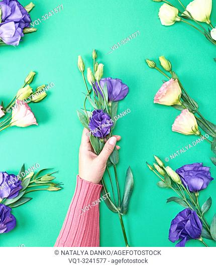 female hand in a pink sweater holding a branch of a flower Eustoma Lisianthus with blue buds on a green background