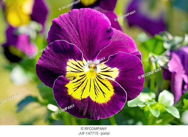 pansy violet - blossom