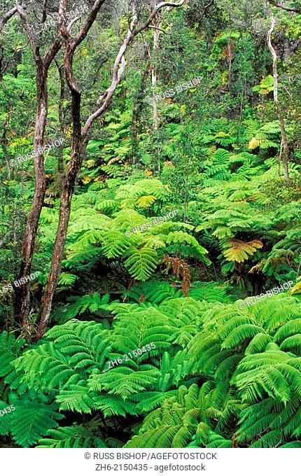 Lush tree ferns in the Tree Fern Forest, Hawaii Volcanoes National Park, The Big Island, Hawaii USA