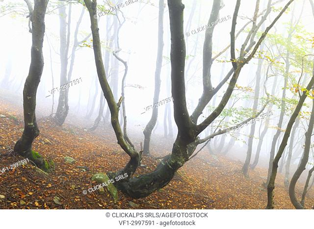 Fog among the forest trees during autumn. Montemezzo, Como Lake, Lombardy. Italy
