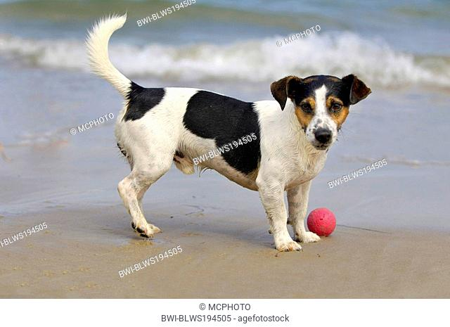 Jack Russell Terrier Canis lupus f. familiaris, playing with a ball at the beach