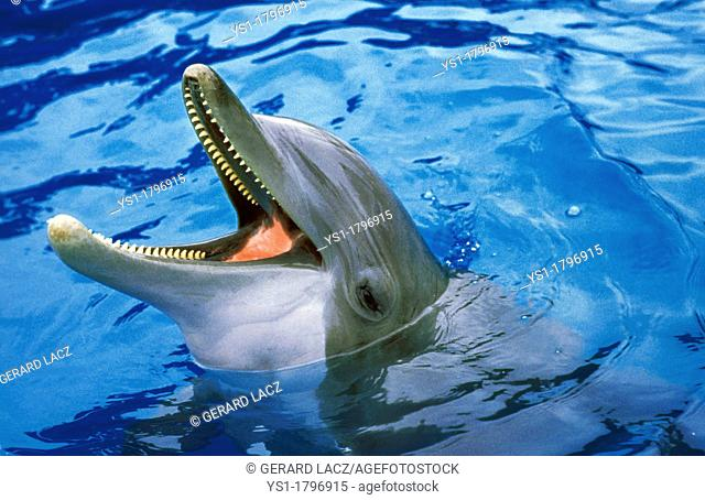 Bottlenose Dolphin, tursiops truncatus, Adult with open Mouth emerging from Water
