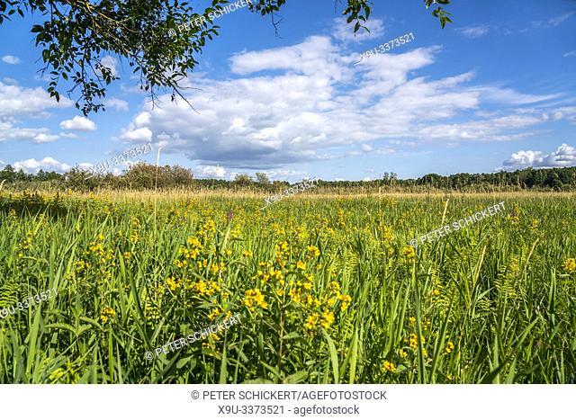 Blumenwiese im UNESCO Biosphärenreservat Masurische Seen bei Luknajno, Ermland-Masuren, Polen, Europa   flower meadow of the UNESCO biosphere reserve Masurian...