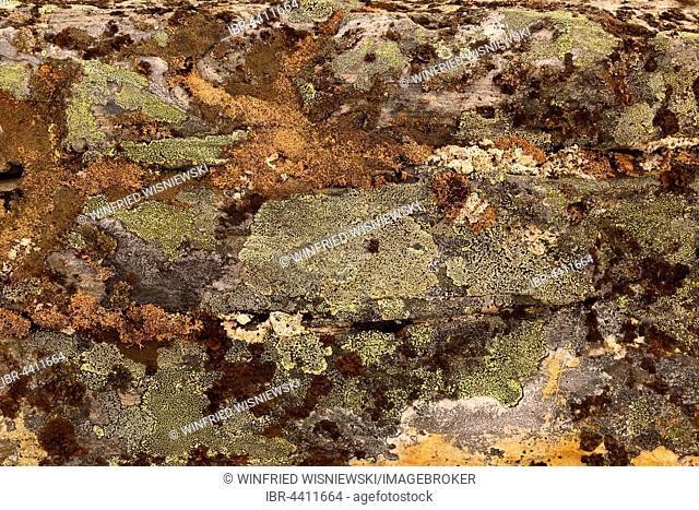 Crusty crustose lichen (Lichen) on a rock, Nordkinn Peninsula, Norway