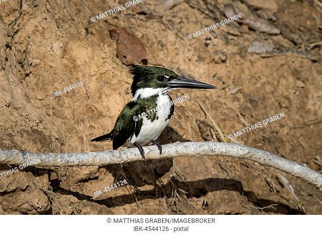 Amazon kingfisher (Chloroceryle amazona), female sitting on branch, Pantanal, Mato Grosso do Sul, Brazil