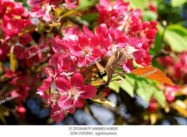 Malus x purpurea, Purpur-Zierapfel, Purple crabapple