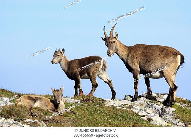 Alpine ibex with cubs / Capra ibex