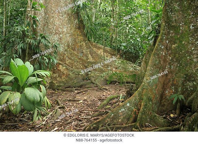 Buttressed trees, Henri Pittier National Park. Venezuela