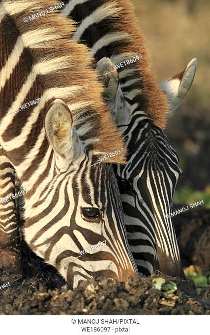 Each Zebra has a unique stripe pattern. A young Zebra can thus easily identify its mother