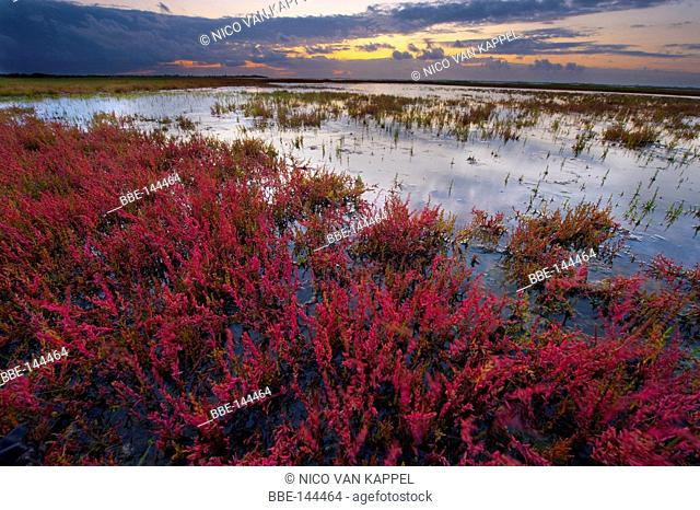the mud flats of the flakkee nature reserve during summer at sunset with glasswort turning red