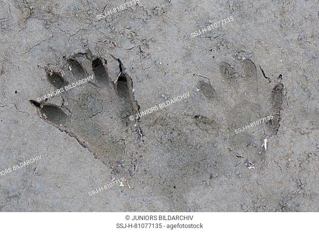 Raccoon (Procyon lotor), tracks in sandy soil. Germany