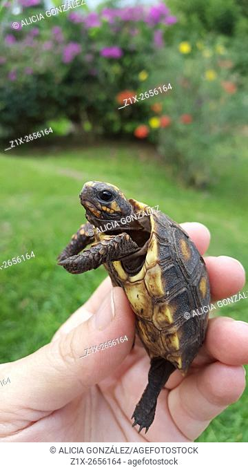 Tortoise baby (Chelonoidis carbonaria) is a species of tortoises from northern South America