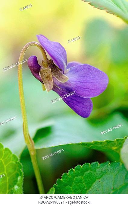Violet, Viola odorata