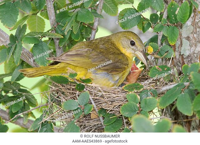 Summer Tanager (Piranga rubra) female in nest with young, Willacy County, Rio Grande Valley, Texas, USA, June 2006
