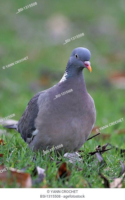 Wood pigeon Columba palumbus, picture taken in Picardy, France. Columba palumbus  Wood pigeon  Pigeon  Columbid  Bird