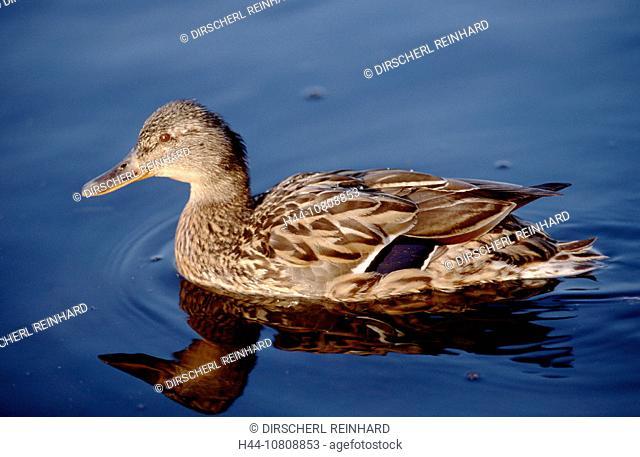action, Anas platyrhynchos, bird, birds, dawn, diving, duck, Germany, Europe, holiday, holidays, Isar, live, marine