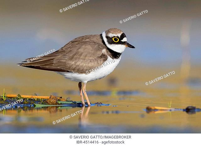 Little Ringed Plover (Charadrius dubius), adult standing in a pond, Campania, Italy