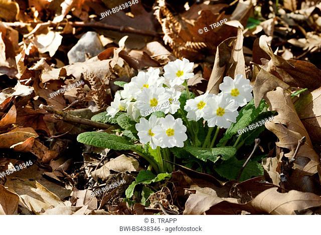 true English primrose (Primula acaulis, Primula vulgaris), wild form of garden primerose, blooming in the Greek mountains, Greece, Olymp