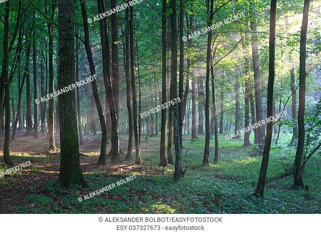 Sunbeam entering rich deciduous forest in misty evening rain after, Bialowieza forest, Poland, Europe