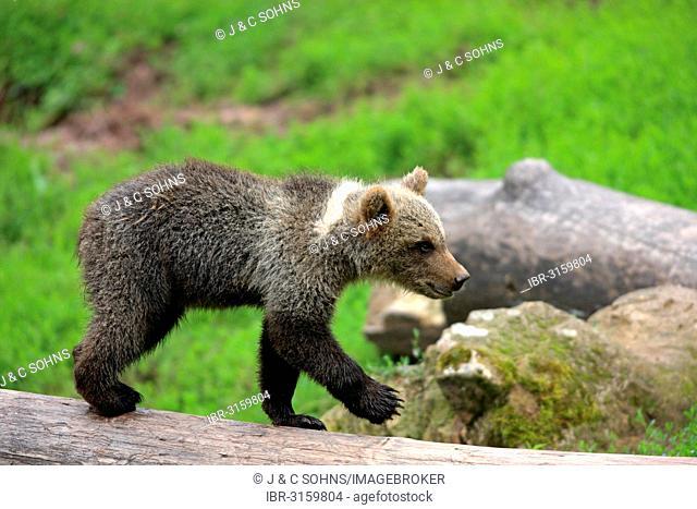 Brown Bear (Ursus arctos) cub, captive, Cleebronn, Baden-Württemberg, Germany