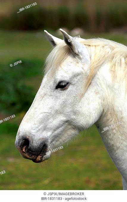 Camargue Horse (Equus caballus), mare, Saintes-Marie-de-la-Mer, Camargue, France, Europe