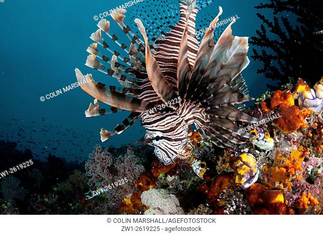 Andover Lionfish (Pterois andover), J-Nose dive site, near Balbulol Island, Raja Ampat (4 Kings) area, West Papua, Indonesia
