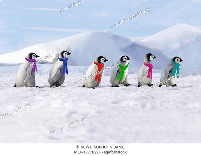 Emperor Penguins - 4 young ones walking in a line