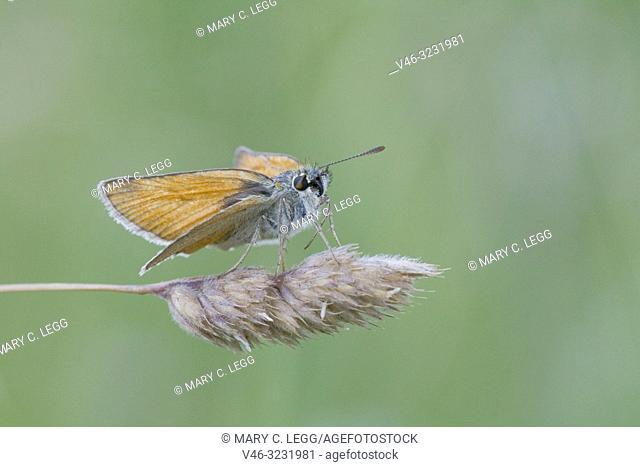 Small Skipper, Thymelicus sylvestris. Small orangish skipper. Antennae tips are black distinguishing it fromm Essex Skipper which has orange antennae tips