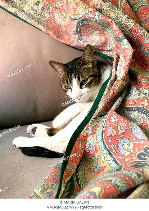Tabby and white cat lying on a sofa, hidden under the plaid