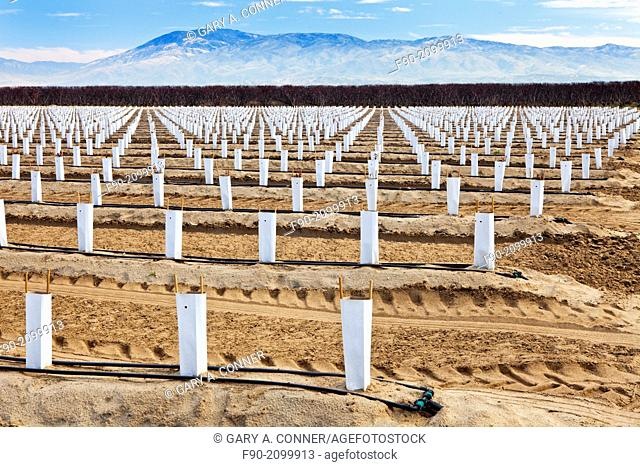 Field of young blueberry plants in winter at Kern Co