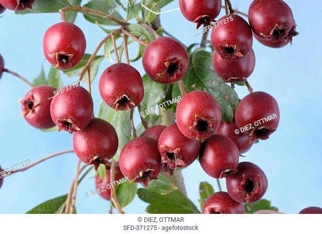 Haws fruit of the common hawthorn, Crataegus monogyna