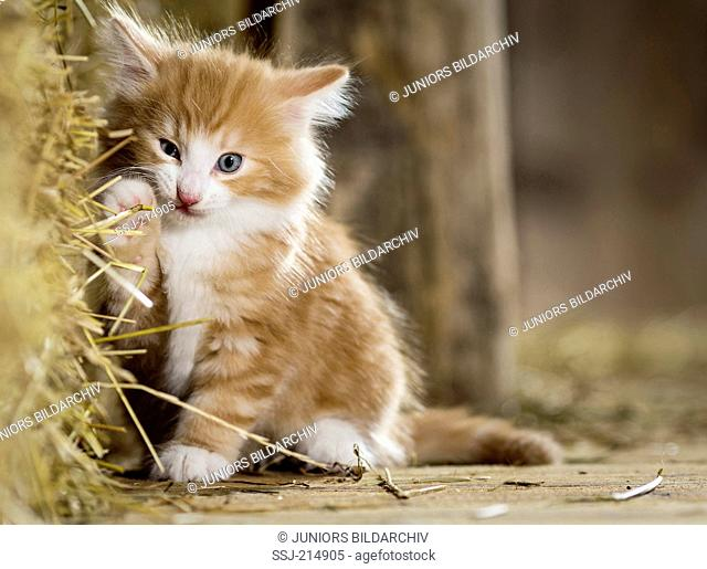 Norwegian Forest Cat. Kitten in a barn, playing with straw. Germany