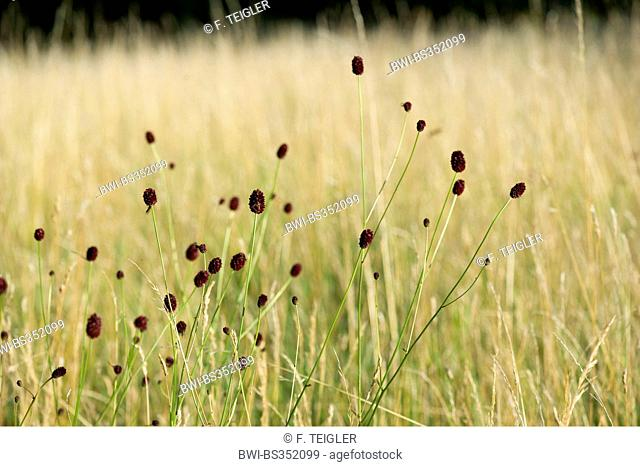 Great burnet (Sanguisorba officinalis, Sanguisorba major), blooming, Germany