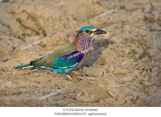 Indian Roller with insect - Sri Lanka