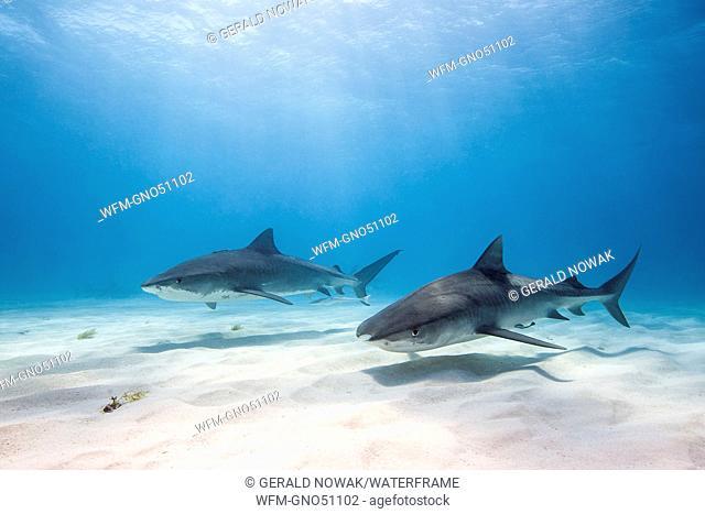 Two Tiger Shark, Galeocerdo cuvier, Caribbean Sea, Bahamas