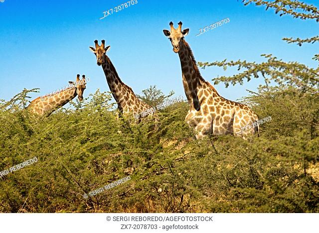 During the game we find many groups safari giraffes near the camp Savute Elephant Camp by Orient Express in Botswna in Chobe National Park