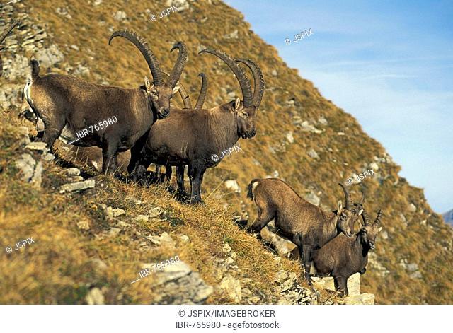 Alpine Ibexes, Ibex, Steinbock (Capra ibex), herd