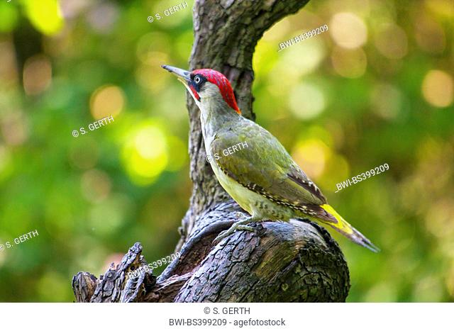green woodpecker (Picus viridis), sits on an old tree trunk, Switzerland, Sankt Gallen