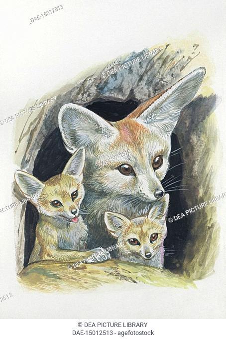 Zoology: Mammals - Fennec fox (Fennecus zerda) with cubs in the den. Art work