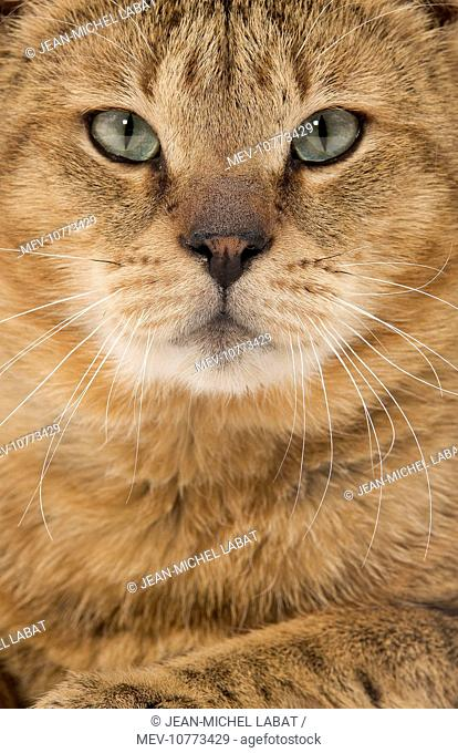 Cat - Chausie Brown Spotted Tabby: Jungle Cat (Felis chaus) crossed with domestic cat - close up of face