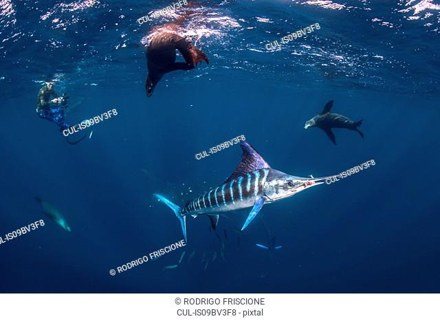 Striped marlin hunting mackerel and sardines, joined by sea lions, photographed by diver