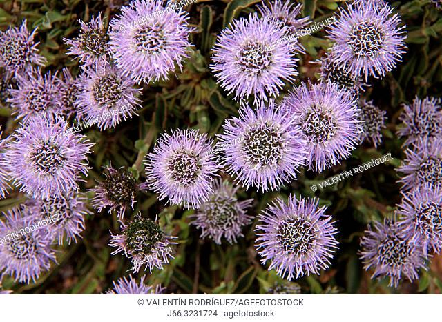 Greater globularia flower (Globularia vulgaris) in the Serraní de Cuenca